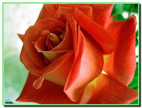 Квіти в житті людини, і яке у них життя