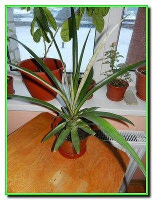 Віталій Снігур. Вирощуємо ананаси.