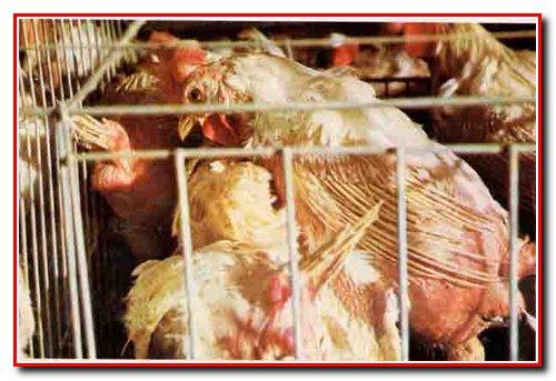 Висока ціна дешевого м'яса